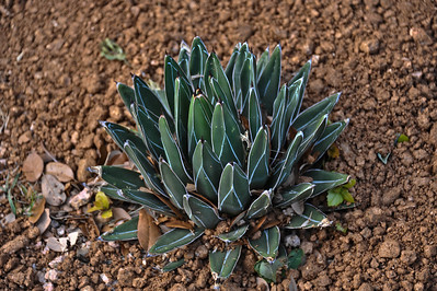 Queen Victoria agave.