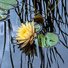 Water Lily and Grass Reflections
