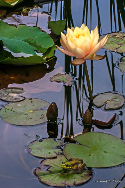 Water Lily and Frog 8/5/14