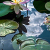 Lotus, Frogs & Cloud  7/26/14