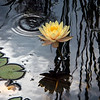 Dark Skies Water Lilly