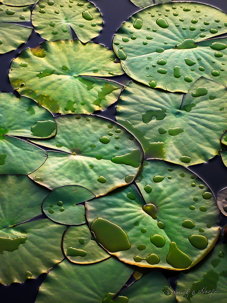 Lily Pads After a Rain