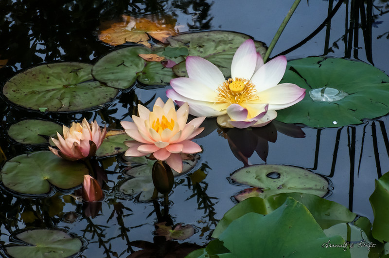 Water Lilies and Lotus