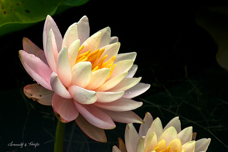 Water Lily    7/26/14