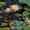 Water Lilies - 4 Frogs