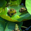 4 Frogs on Lily Pads  9/8/14