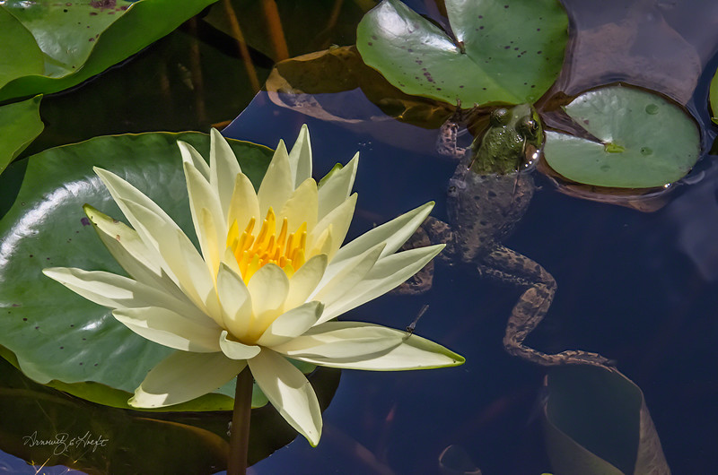 Yellow Lily and Frog
