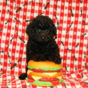 POODLE  Photos and Videos