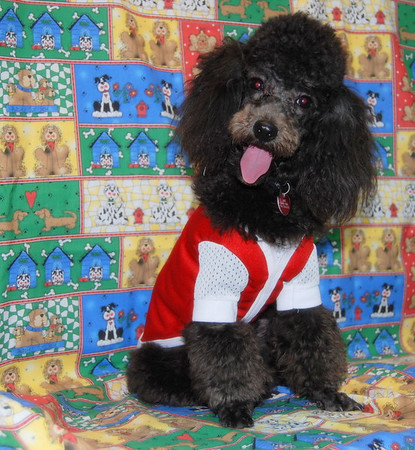 2007 Poodle Adopted Puppies