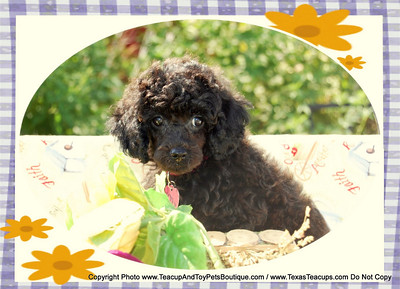 2009 Poodle  Adopted Puppies