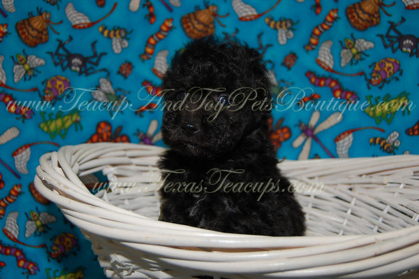 2011 Poodle Puppies Adopted $675 Or Less