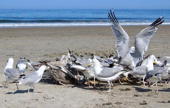 17.08.10 Popham Beach - Maine Audubon Society