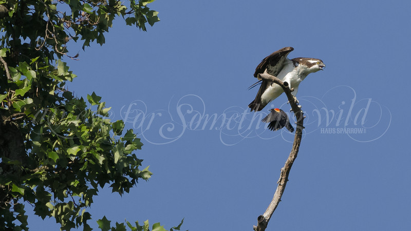 Osprey and Red-winged Blackbird