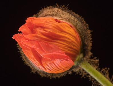 Poppies 3.5.17