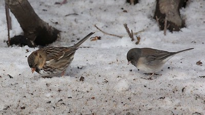 Harris's sparrow with Junco - a three part series