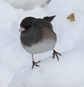 A cute little Junco in the snow.