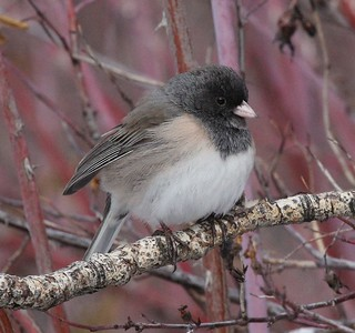 This Junco was posing - how could I not photograph it?