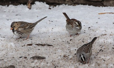 For comparison, we have the Harris's sparrow, White-throated sparrow and a White-crowned sparrow in the same frame. The White-crowned is in the lower right (a little out of focus).