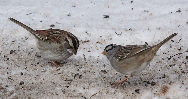 White-throated sparrow with White-crowned sparrow