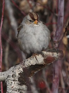 "A first year White-crowned sparrow, affectionately nicknamed ""Brown-crowned"" as it has not yet molted into adult plumage."