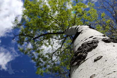 White Trunk Aspen in Spring