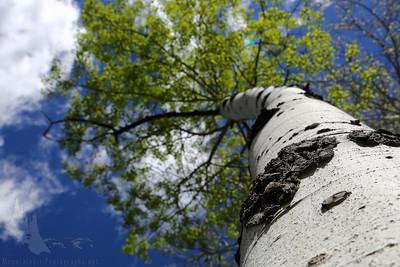 White Trunk Aspen in Spring