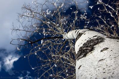 White Trunk Aspen in Winter