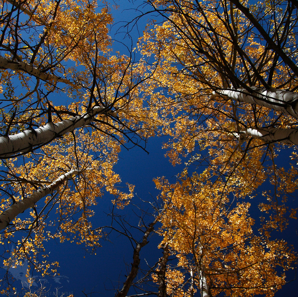 Golden Aspens with a Dark Blue Sky