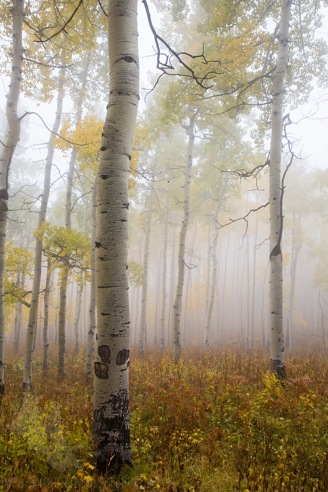Owl Creek Aspens in the Fog #1