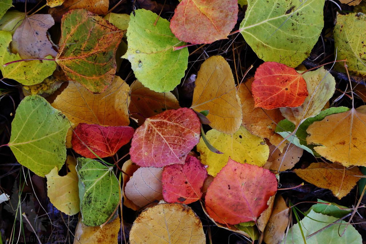 Multicolor Aspens