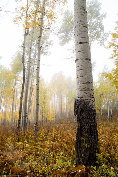 Owl Creek Aspens in the Fog #3