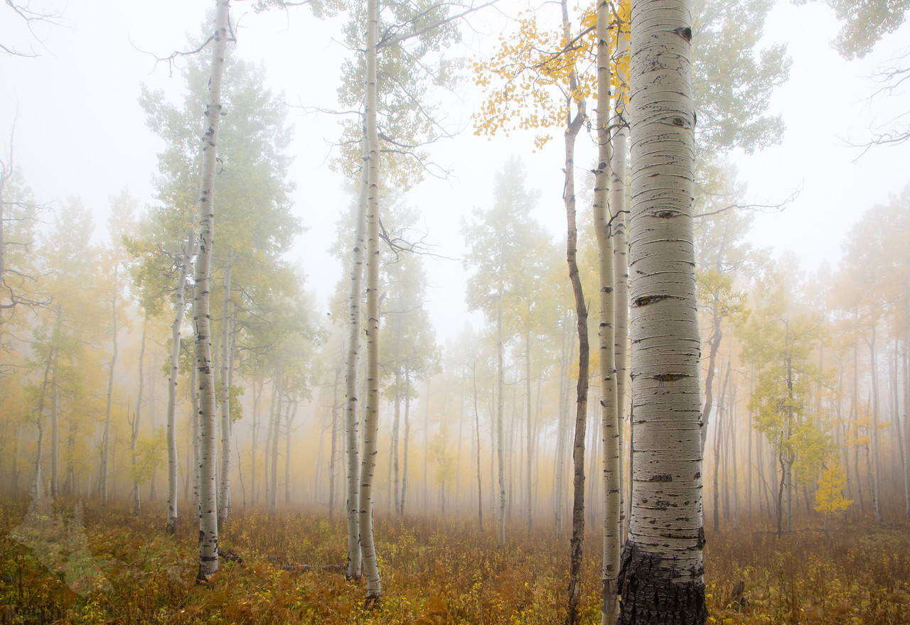Owl Creek Aspens in the Fog #2