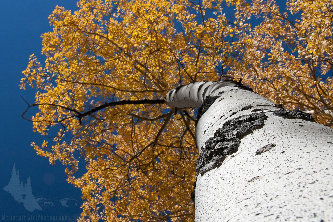 White Trunk Aspen in Fall