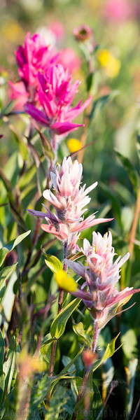 Pink Paintbrush (vertical)