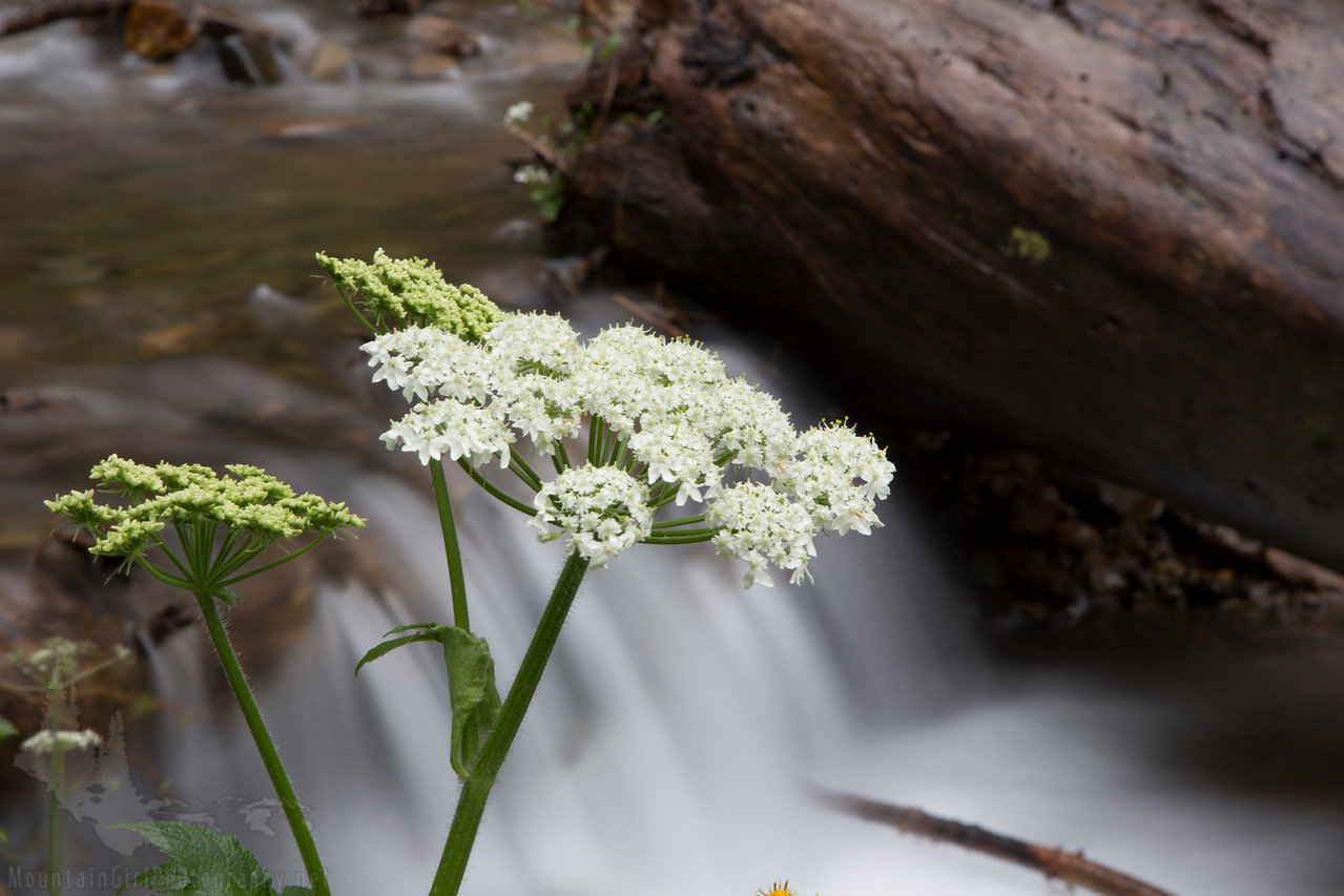 Cow Parsnip by the River