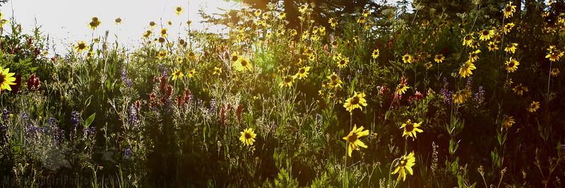 Sunset Wildflower Jubilee