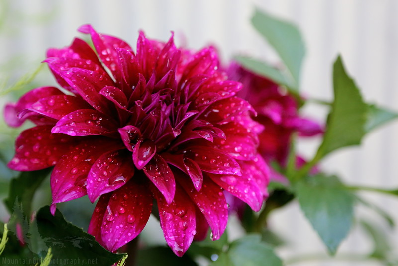 Dahlias in the Rain
