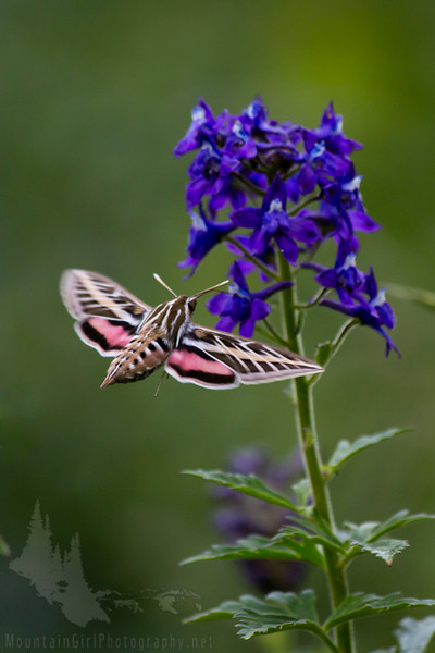 Hummingbird Moth and Delphinium