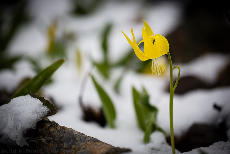 Glacier Lily in the Snow