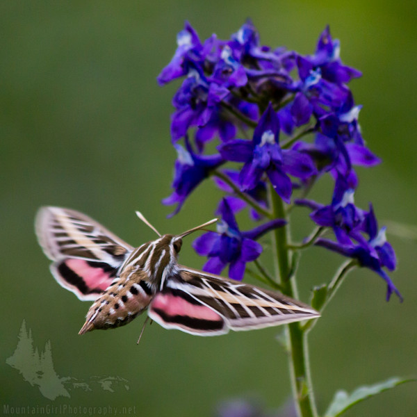 Hummingbird Moth and Delphinium (Square)