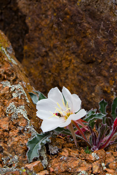 White Stemmed Evening Primrose in Granite