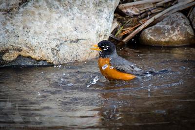 Robin Bathtime