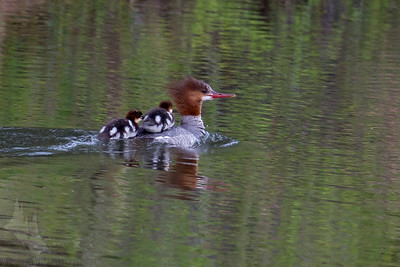 Common Merganser and Ducklings