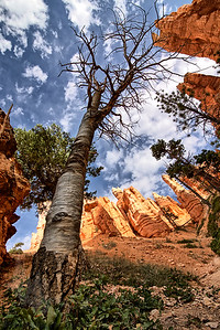 Bryce Canyon Bristlecone Snag