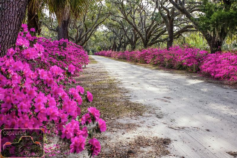 Bonaventure Cemetery Live Oaks and Azaleas