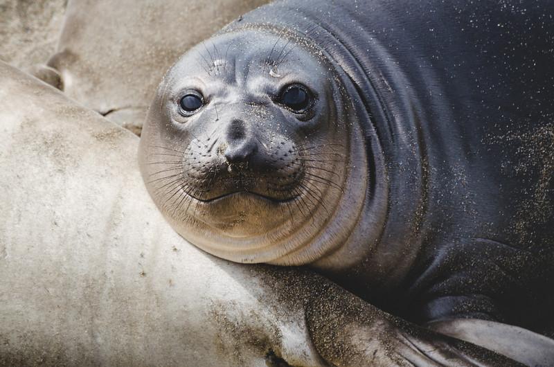 Elephant seal pup, San Simeon, CA