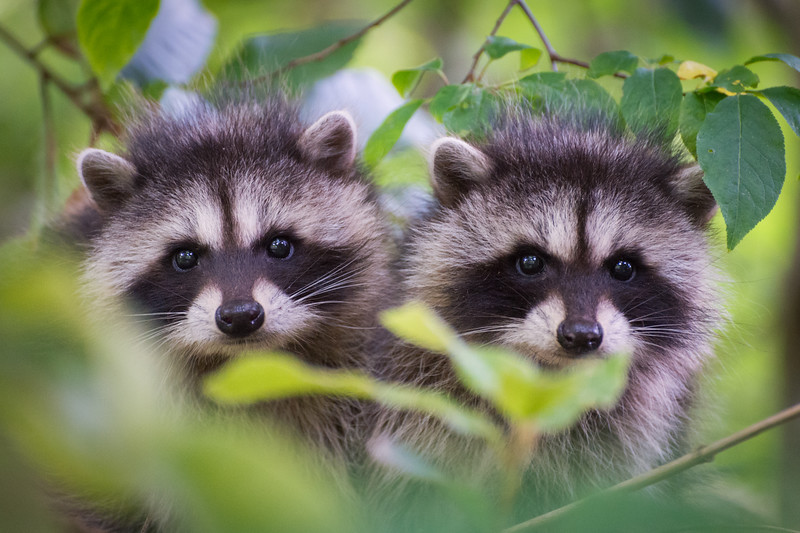 Pair of raccoon cubs, MacKerricher State Beach, Fort Bragg, CA