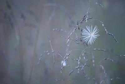 Soft Focus Wispy Seed Background