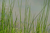 """Pond Grass Background""  Bright green pond grass in on the shoreline of a small New Jersey pond."