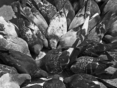 """Feeding Pigeons"" A group of pigeons feeding on a New York City street."